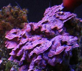 Alghe calcaree