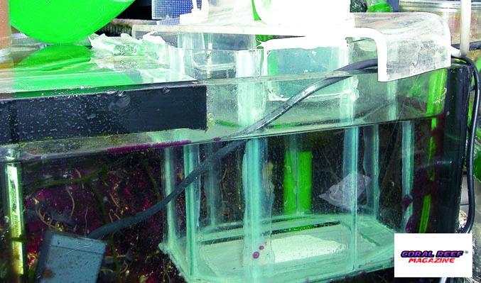 La riproduzione del pesce mandarino psichedelico - Frullatore piccolo ...