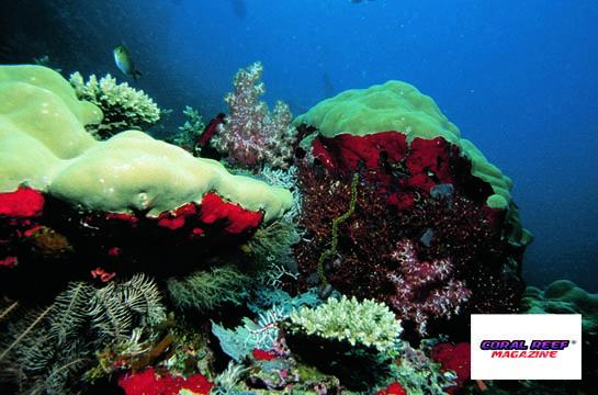 I reef corallini estraggono dal mare incredibili quantità di calcio. Alcune stime riferiscono di una produzione annua di circa 900 milioni di tonnellate di carbonato di calcio.  Foto: D. Brockmann