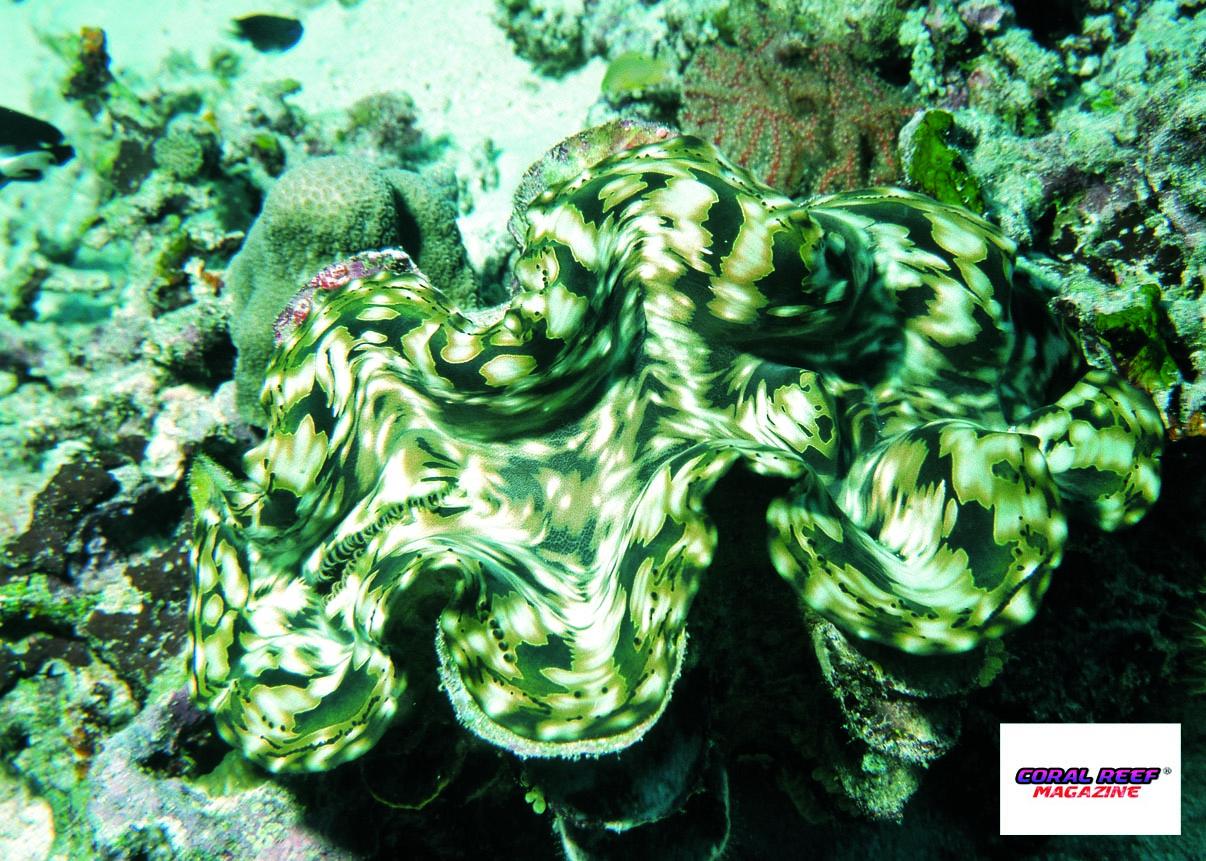 Tridacna Squamosa La Conchiglia Gigante A Squame Rivista Coralli