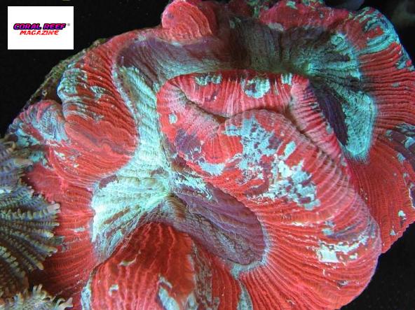 Varianti cromatiche verde e rossa del corallo Trachyphyllia geoffroyi.