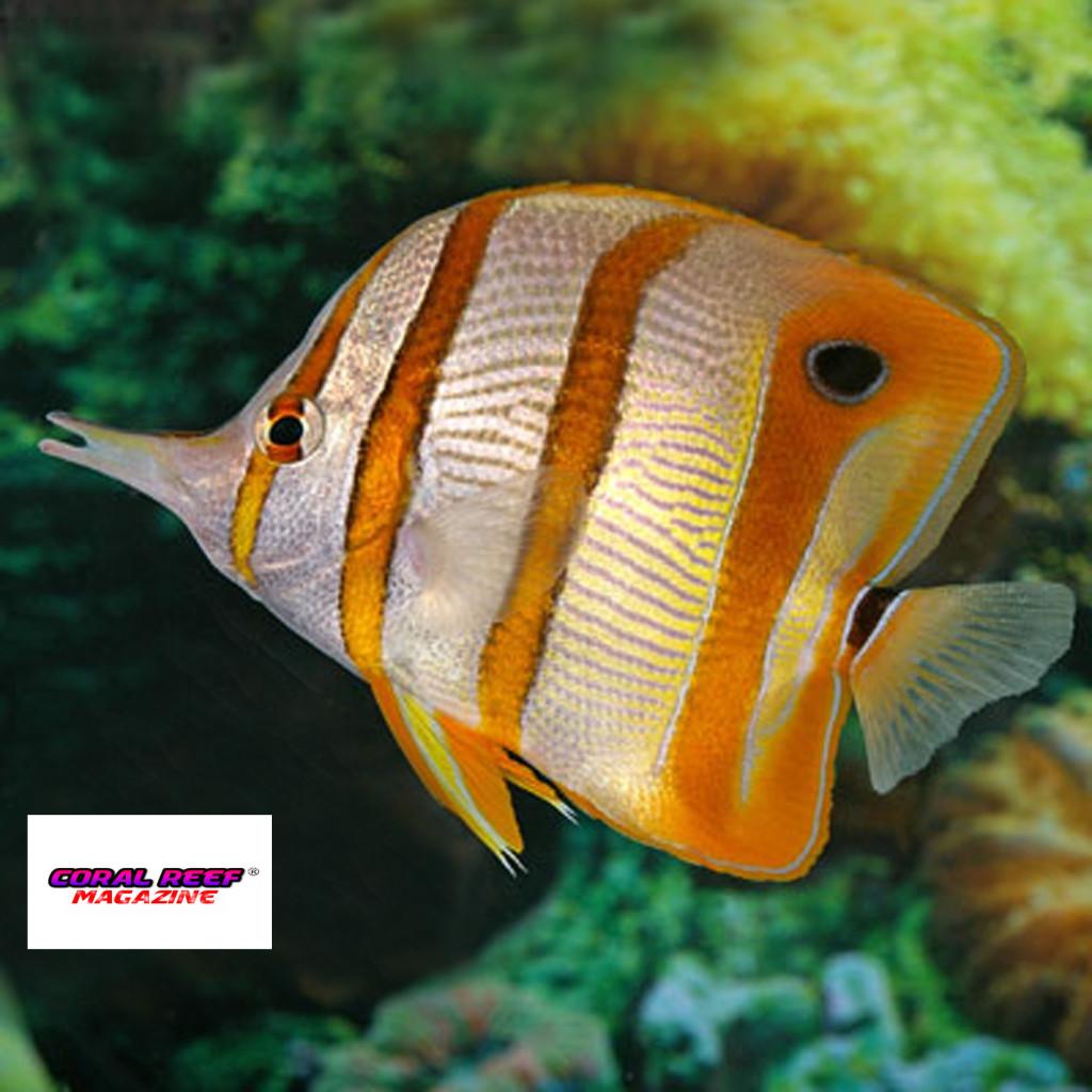 Il mantenimento in acquario dei pesci farfalla for Pesci per acquario piccolo