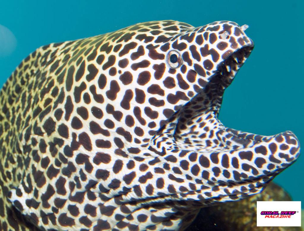 Le murene Gymnothorax tile fanno parte delle specie che talvolta si spingono nelle acque dolci (nella foto una G. favagineus).
