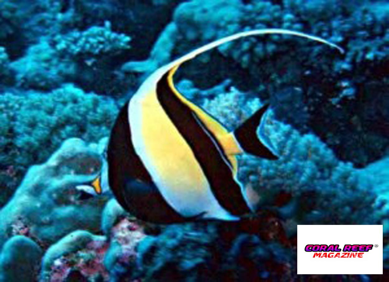Il mantenimento in acquario dei pesci farfalla for Acquario per pesci