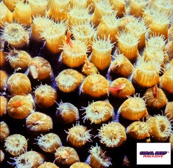 Questi polipi zooxantellati di un corallo duro si alimentano effettivamente tramite le loro alghe simbionti, perché l'acqua circostante è priva di plancton?