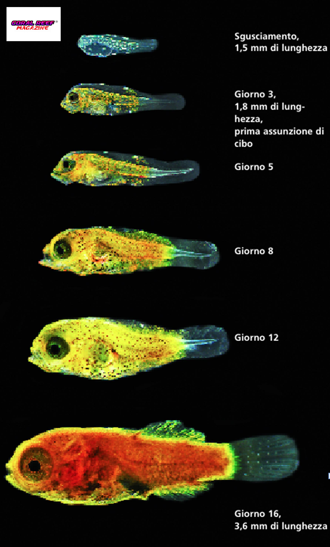 Lo sviluppo delle larve di Synchiropus stellatus.