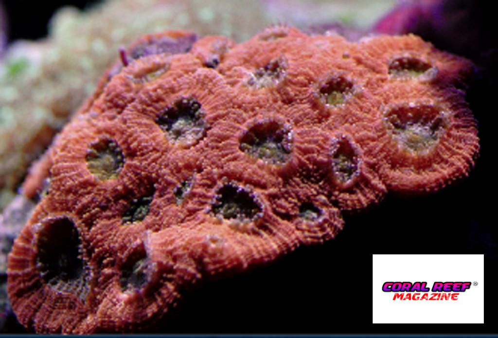 Tra i coralli duri ci sono molte rarità, per esempio Micromussa amakusensis.