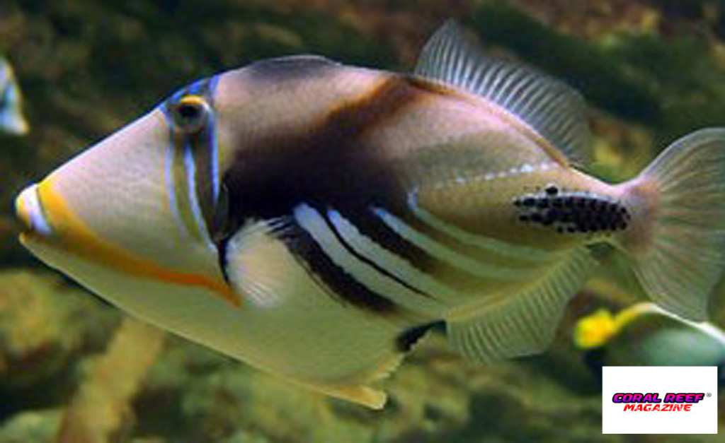 Rhinecanthus-aculeatus