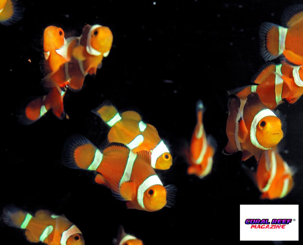 Dei giovani pesci pagliaccio (Amphiprion ocellaris) subiscono una forte influenza sul loro comportamento a causa di un elevato contenuto di anidride carbonica nell'acqua.