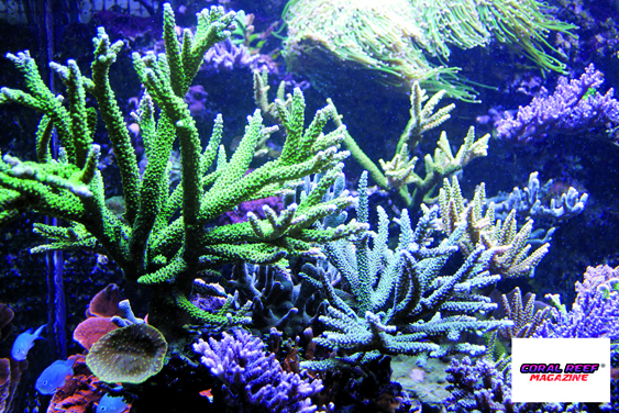 Sono molte le specie di Acropora a crescere magnificamente.