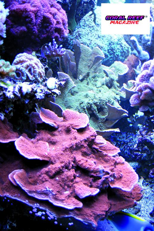 Dei bellissimi coralli duri Montipora dai magnifici colori.