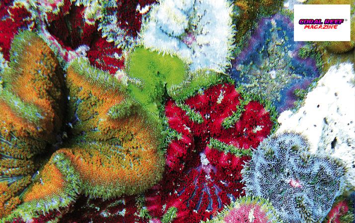 Esistono svariate morfologie cromatiche di questo anemone di mare scientificamente ancora non descritto.