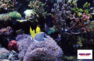 La fitta crescita di coralli non fa quasi supporre che questo reef esiste solo da poco tempo. Anche il delicato pesce chirurgo dalla gola bianca (Acanthurus leucosternon) si sente a suo agio.
