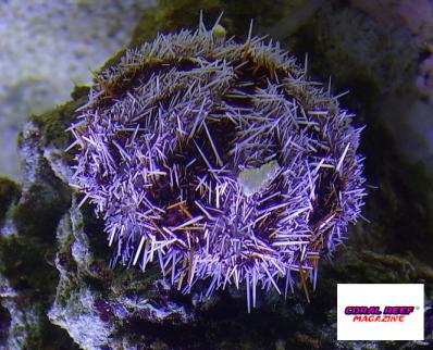mespilia-globulus