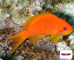Per i pesci corallini delicati come le castagnole i valori di ammoniaca elevati sono particolarmente pericolosi.