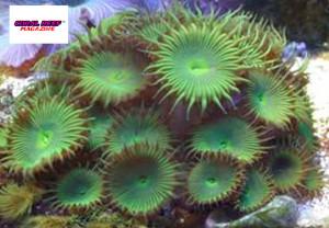 Anche la palitossina di questo polipo incrostante (Protopalitoa grandis) viene prodotta dai batteri.