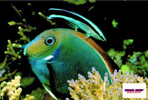 """L'Acanthurus achilles con la sua colorazione da """"benessere""""; il pesce pulitore Labroides dimidiatus lo mantiene in salute."""
