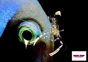 Una affascinante simbiosi di pulizia: Periclimenes sp. e Acanthurus leucosternon