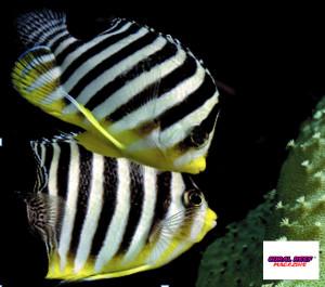 Una coppia di pesci angelo pigmei Centropyge multifasciata durante il corteggiamento serale.