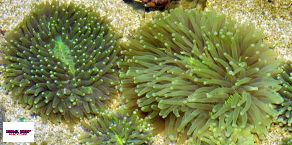 Nel caso dei coralli Heliofungia actiformis, la riproduzione come incubatori è stata provata.